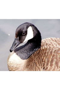 Preview canadageese16 4183
